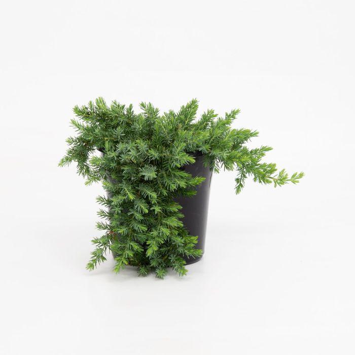 Conifer Creeping Juniper  ] 1082600200 - Flower Power
