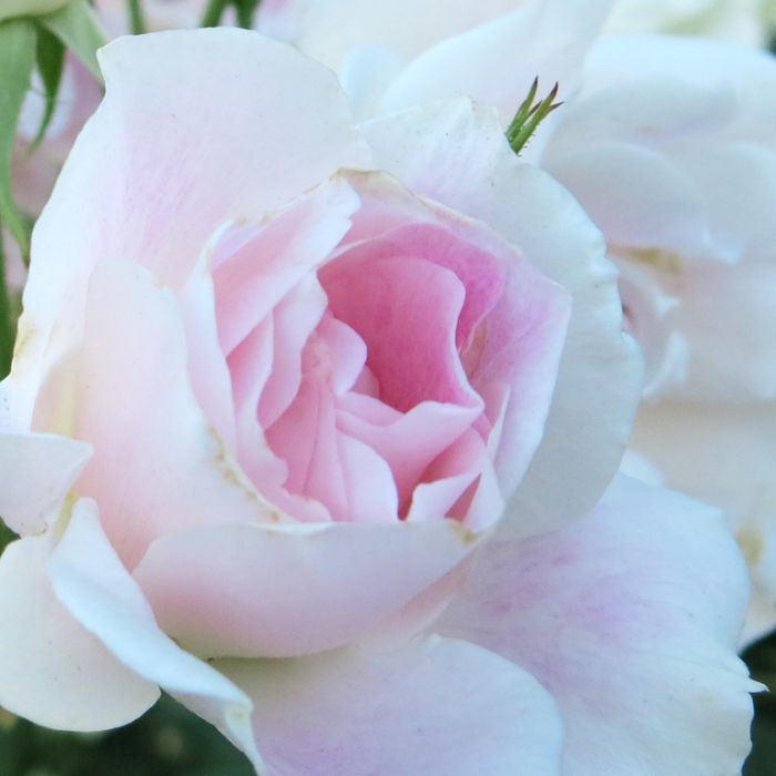 Blushing Pink Iceberg Rose  ] 1085990250 - Flower Power