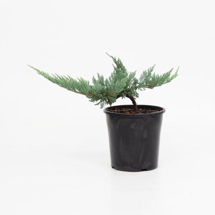 Juniperus Blue Rug  ] 1095700200 - Flower Power