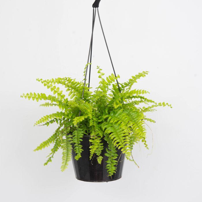 Boston Fern Wire Hanging Basket  ] 1188800030P - Flower Power