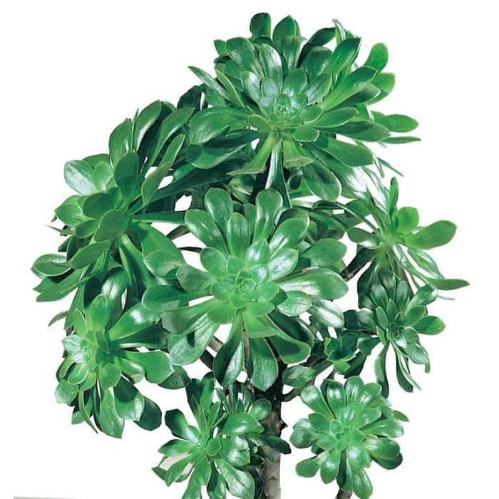 Aeonium Velour  ] 1196500100P - Flower Power