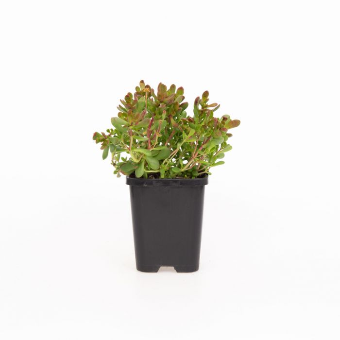 Crassula Anomola  ] 1207520085 - Flower Power