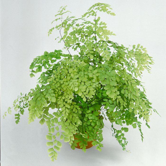 Maiden Hair Fern Hanging Basket  ] 1238280017P - Flower Power