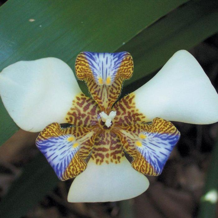Brazilian Walking Iris  ] 1274260200P - Flower Power