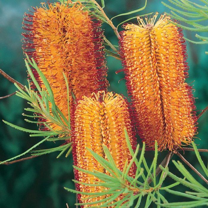 Banksia spinulosa  ] 1290800200P - Flower Power