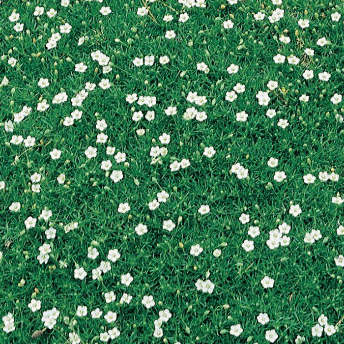 Pearlwort  ] 1291000085P - Flower Power