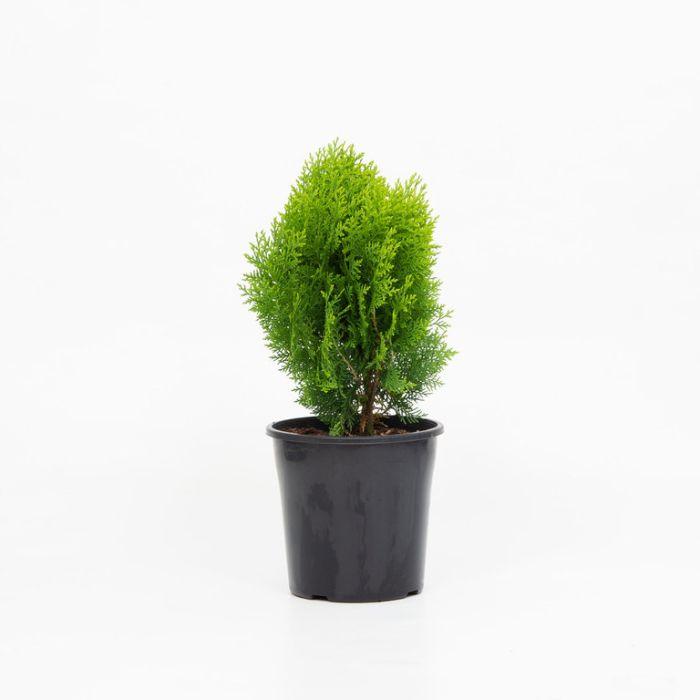 Conifer Golden Biota  ] 1301500200P - Flower Power