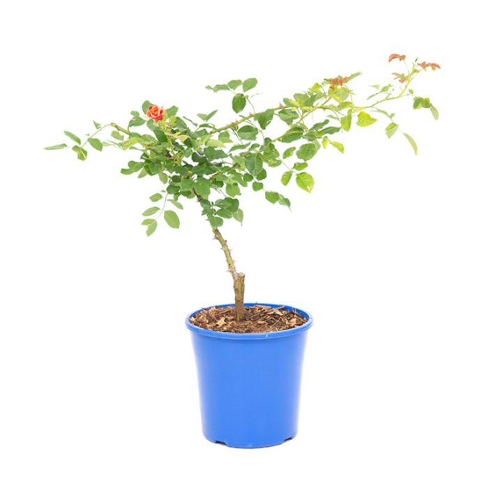 Aloha Rose  ] 1319050200 - Flower Power