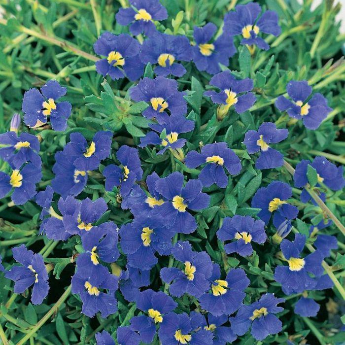 Dampiera diversifolia  ] 1332000140P - Flower Power
