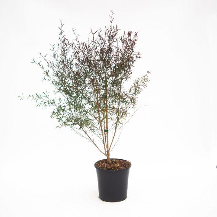 Tea Tree Burgundy  ] 1337000200P - Flower Power