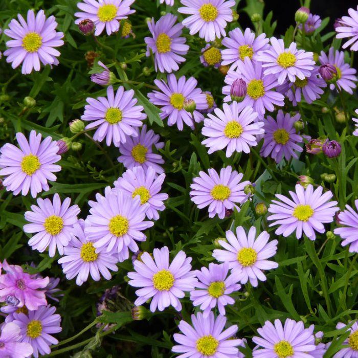Brachyscome Mauve Delight  ] 1338450130P - Flower Power