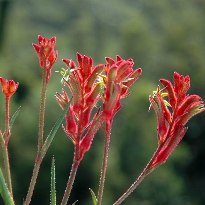 Kangaroo Paw Bush Ballad  ] 1346410140P - Flower Power
