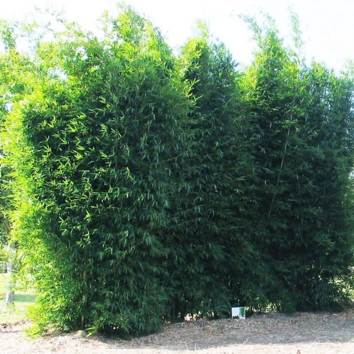 Bamboo Gracilis  ] 135205P - Flower Power