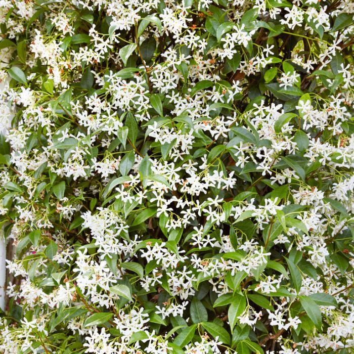 Chinese Star Jasmine  ] 1362000140P - Flower Power