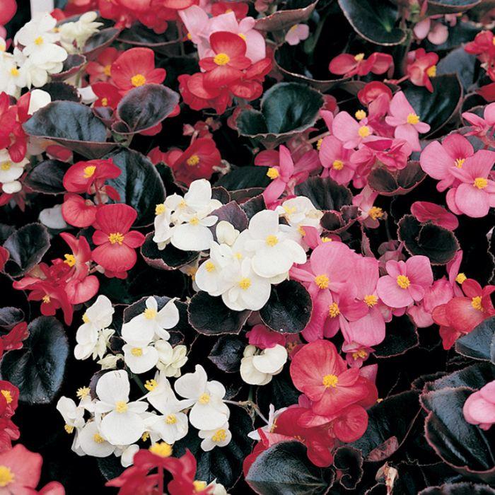 Begonia Dark Leaf Mix  ] 1362031006P - Flower Power