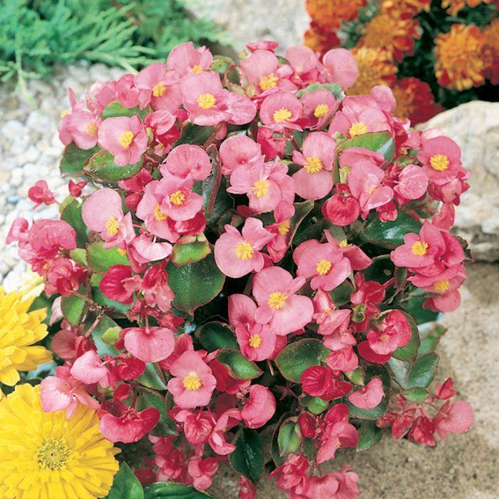 Begonia Green Leaf Pink  ] 1362081006P - Flower Power