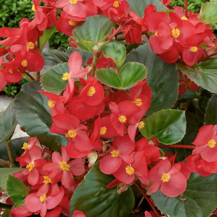Begonia Green Leaf Red  ] 1362091006P - Flower Power