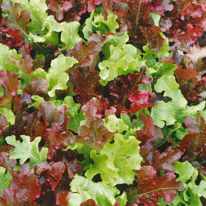 Lettuce Salad Blend  ] 1362771006 - Flower Power