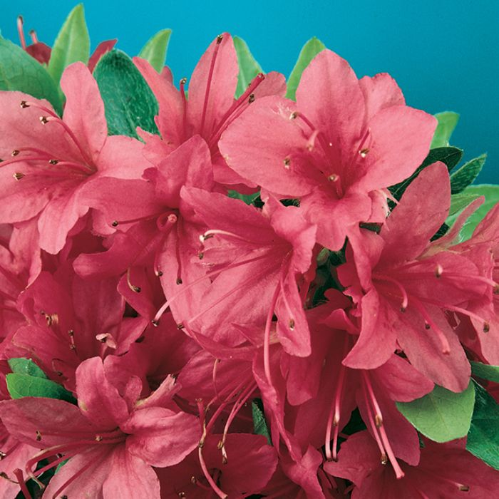 Azalea Christmas Cheer  ] 1379690140P - Flower Power