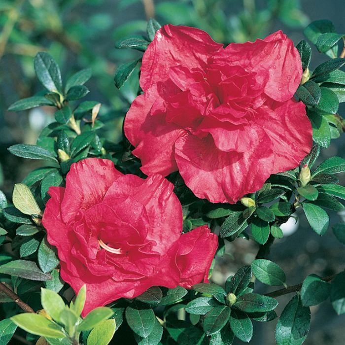 Azalea Firey Eyes  ] 1379760140P - Flower Power