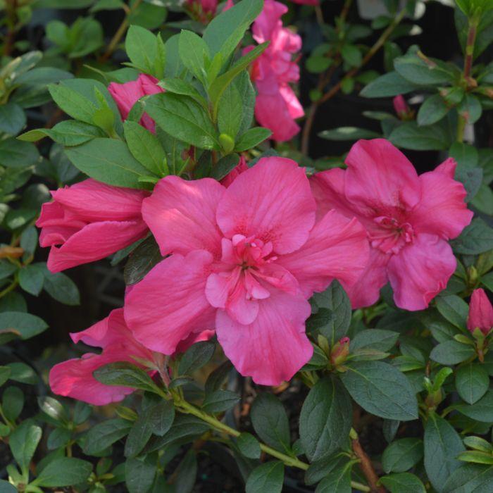 Azalea Parasols in Pink  ] 1379920140P - Flower Power