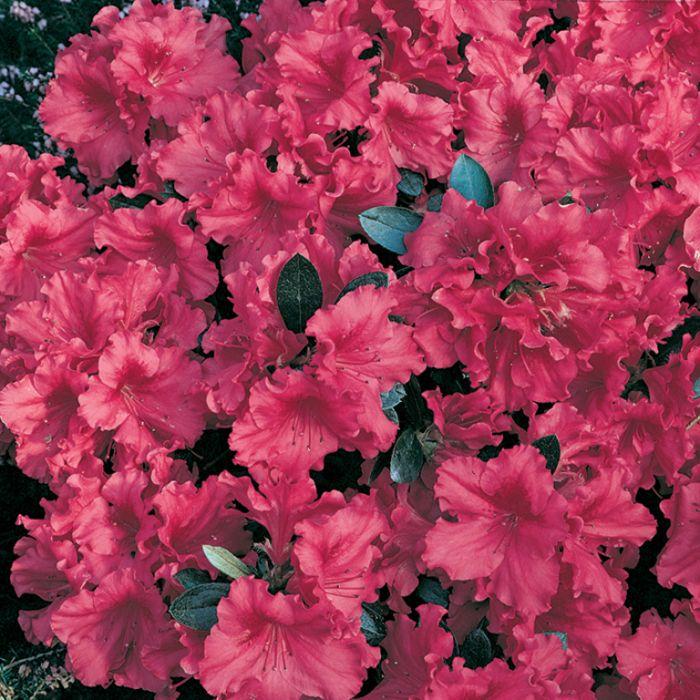 Azalea Red Wing  ] 1379970140P - Flower Power