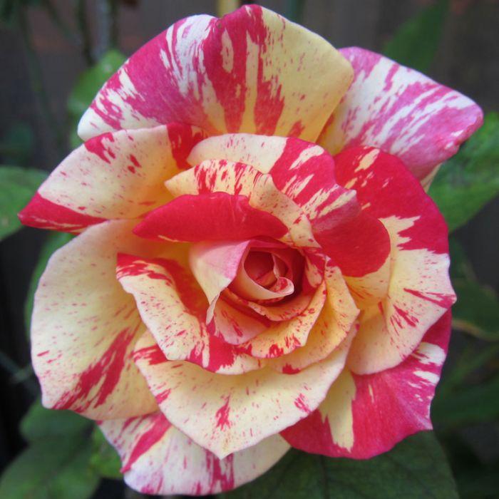 Cabana Rose  ] 1382840200 - Flower Power