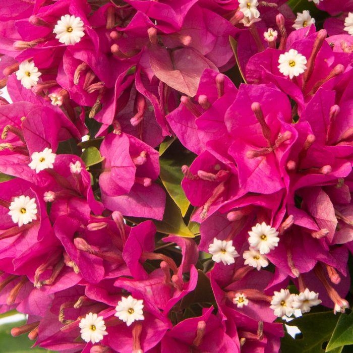 Bougainvillea Smarty Pants  ] 1411800140P - Flower Power