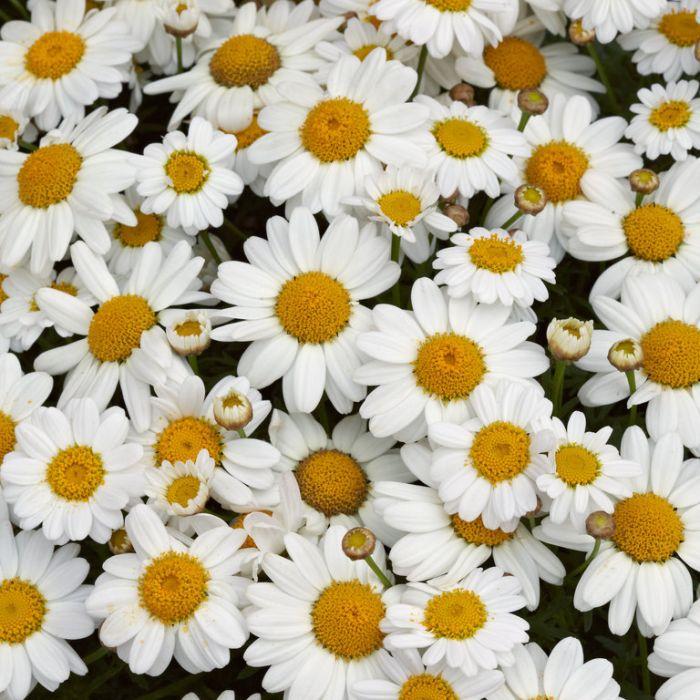 Federation Daisy Summit White  ] 1421760140P - Flower Power