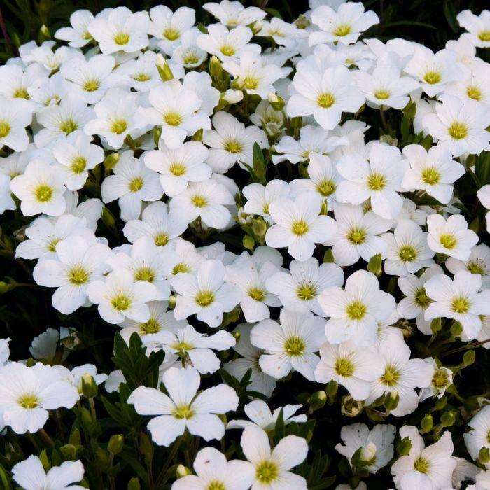 Arenaria Montana  ] 1425300140P - Flower Power