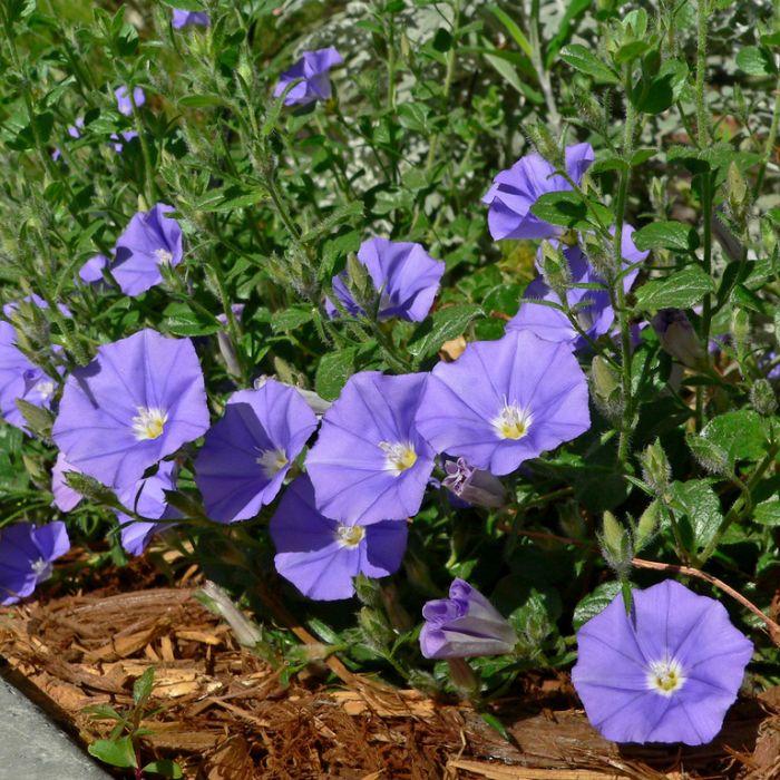Convolvulus Mauritanicus  ] 1426600085P - Flower Power