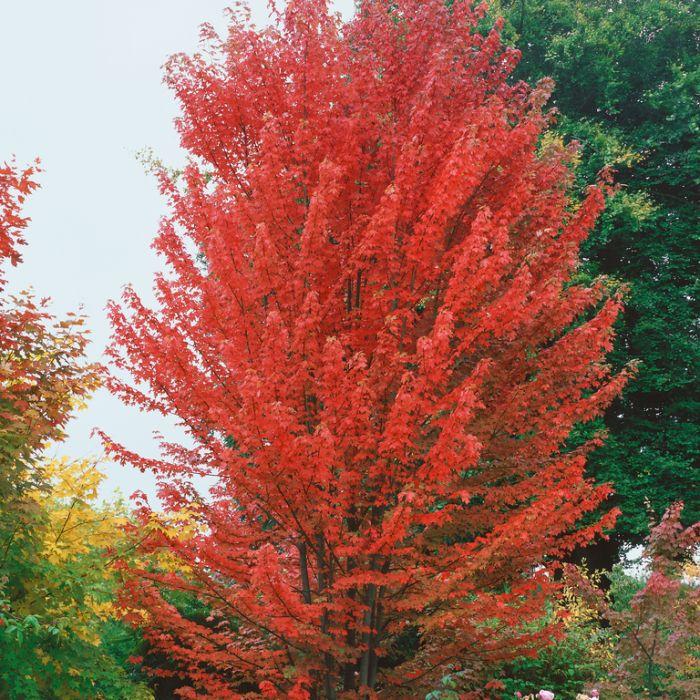 Acer Autumn Blaze  ] 1435420300P - Flower Power