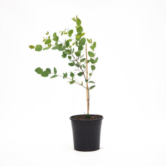 Eucalyptus Euky Dwarf  ] 1437750200P - Flower Power
