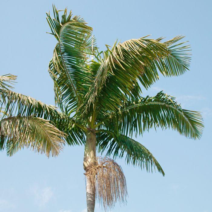 Bangalow Palm  ] 149870P - Flower Power