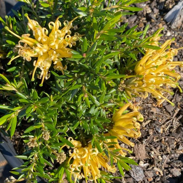 Grevillea Prostrate Gold  ] 1498720140P - Flower Power