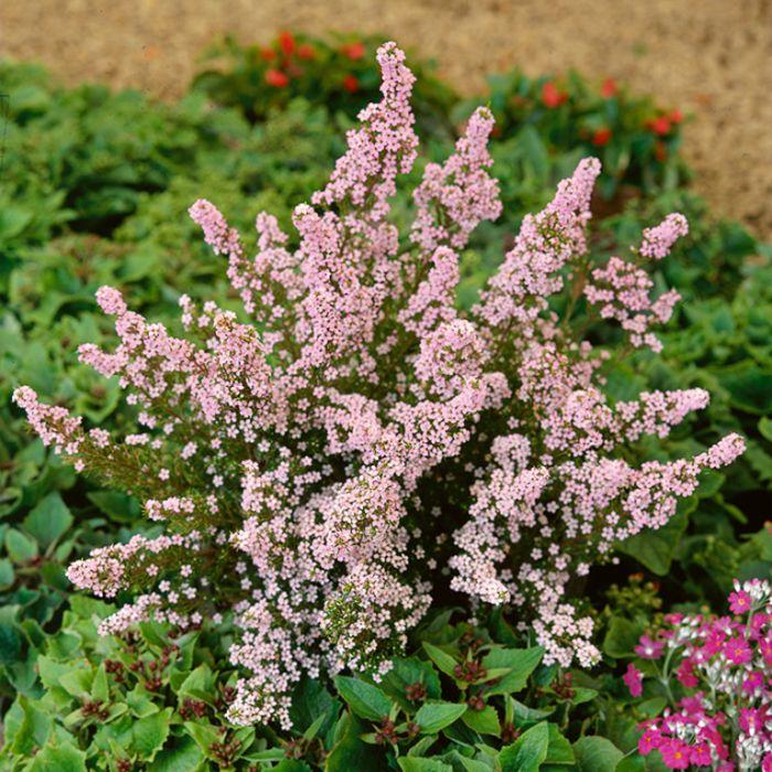 Dwarf Pink Diosma  ] 1501100140P - Flower Power