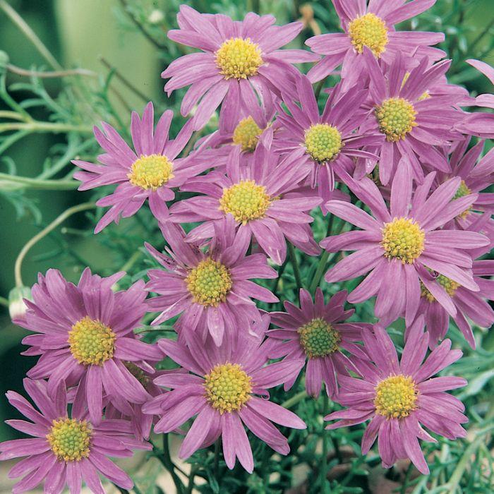 Rock Daisy - Break O Day  ] 1501900130P - Flower Power