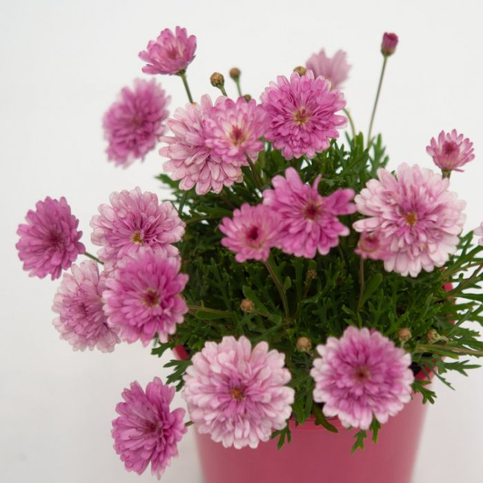 Federation Daisy Sunday Best  ] 1509010140P - Flower Power
