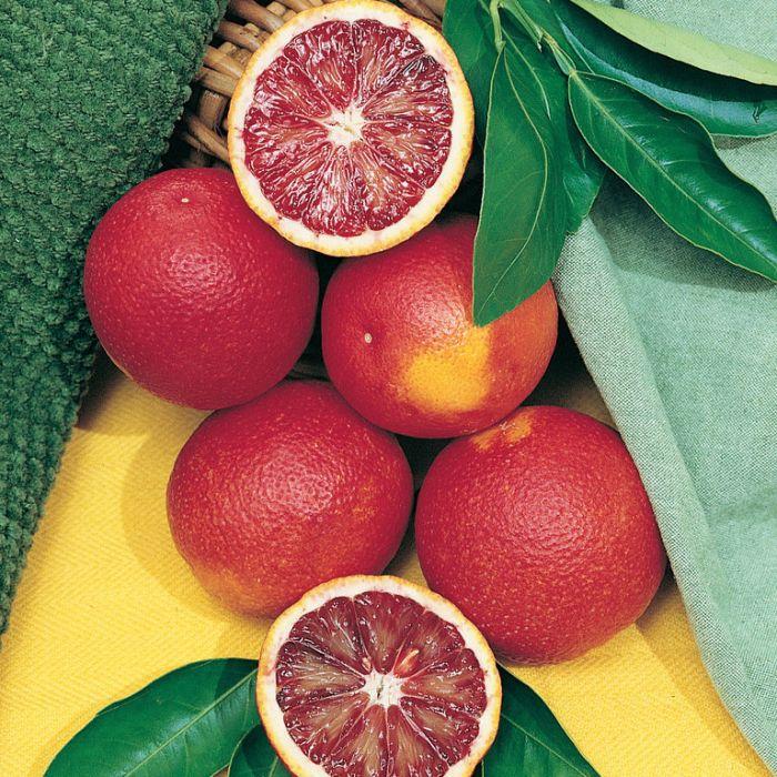 Arnolds Blood Orange  ] 151176P - Flower Power