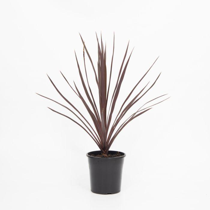 Cordyline Black Night  ] 1525110200P - Flower Power