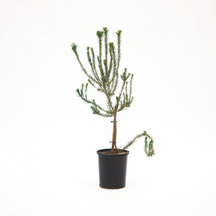 Banksia Little Eric  ] 1528560140P - Flower Power