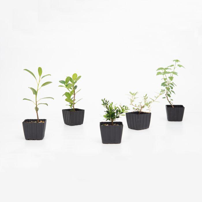 Bonsai Starter  ] 153040 - Flower Power