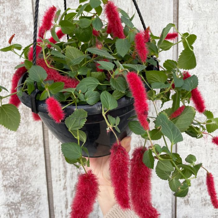 Acalypha Summer Love Hanging Basket  ] 153310P - Flower Power