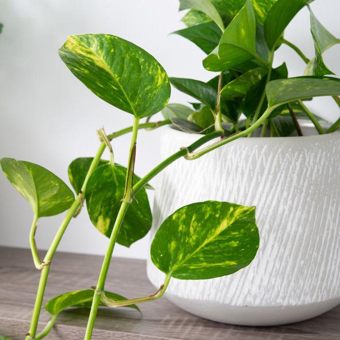 Devil's Ivy Hanging Basket  ] 1534900017P - Flower Power