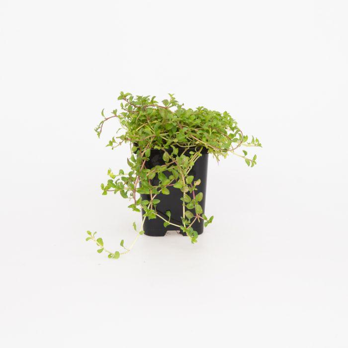 Pennyroyal  ] 1539540085P - Flower Power
