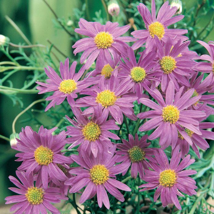 Rock Daisy - Multifida  ] 1558600130P - Flower Power
