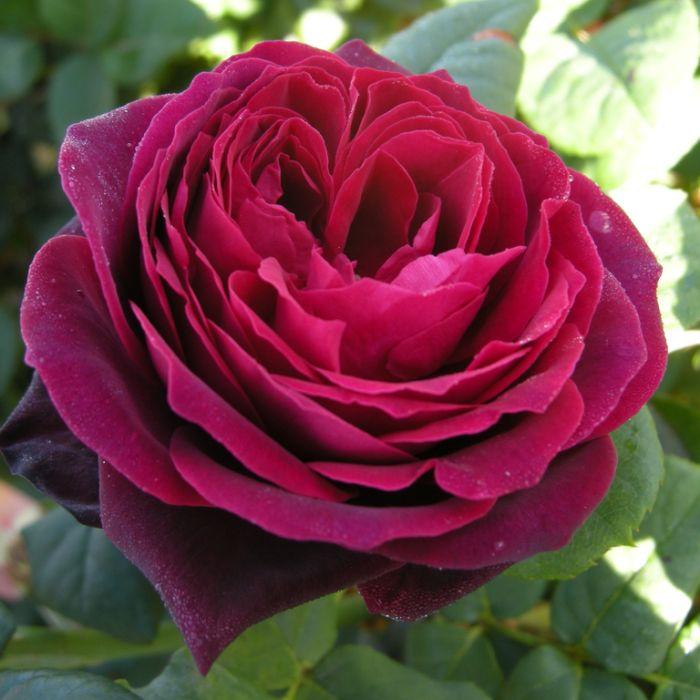 Black Caviar Rose  ] 1574430200 - Flower Power