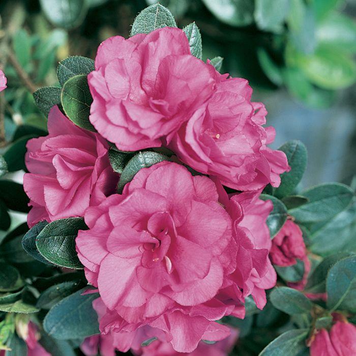 Azalea Happy Days  ] 1575690140P - Flower Power