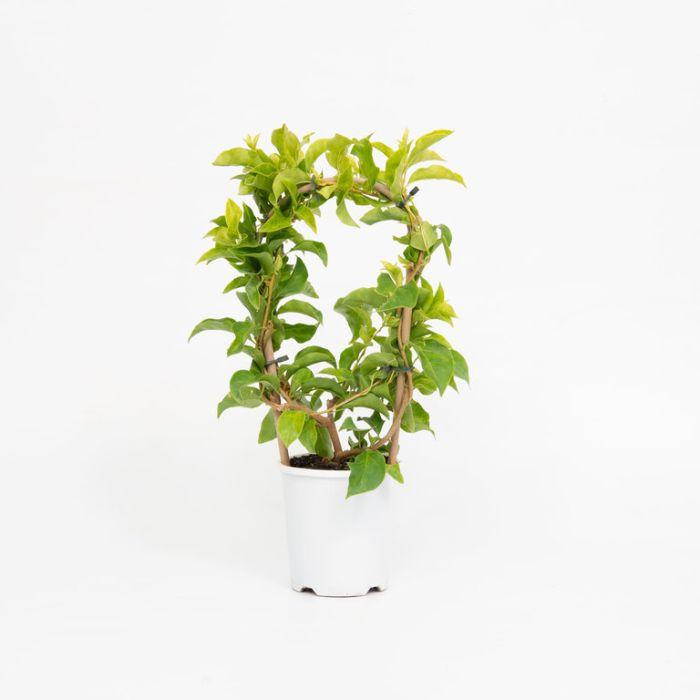 Bougainvillea Bambino Beesnees  ] 1579340140P - Flower Power