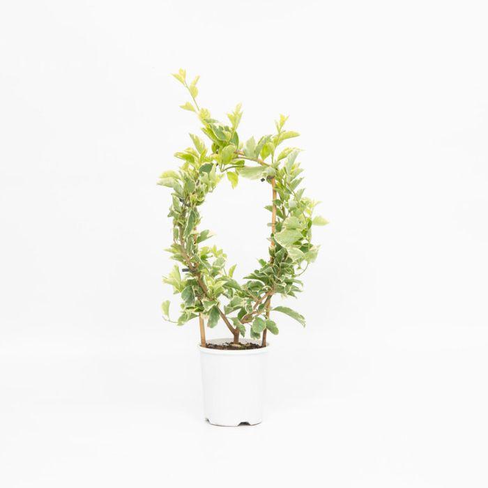 Bougainvillea Bambino Panda  ] 1579410140P - Flower Power
